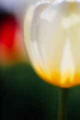 * (t*tomorrow) Tags: canon eos 5d2 50mm sigma50mmf14 flower チューリップ