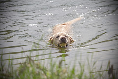 IMG_4206 (BernaPhotography) Tags: labradorretriever lab leaves dog pet action water