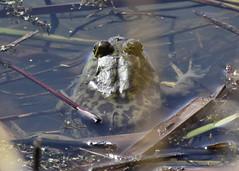 _DSC3075 Bullfrog Large (d.macheca@yahoo.com) Tags: snakes birds bittern sora virginia rail spring water bird frogs flowers