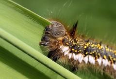 The bussiness end of a potato (Cosper Wosper) Tags: drinkermoth caterpillar euthrixpotatoria hamwall somerset levels