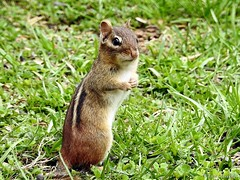 Eastern Chipmunk (Anne Ahearne) Tags: wild animal cute wildlife nature chipmunk easternchipmunk rodent standing grass animalplanet