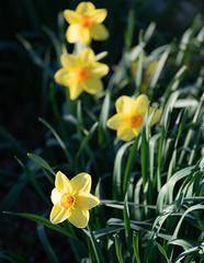 Flower, Middletown, New York (nsandin88) Tags: canonl color sunset a7rii house sonya7rii sony canon flower canonlens suburban