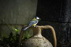 Andata e ritorno...aller et retour...back and forth... (kiareimages1) Tags: birds oiseaux uccelli mésange cincia cinciallegra spring garden nature nid nido