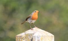 Robin (terencepkirk) Tags: robin red breast bird nature garden wildlife