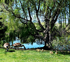 Family of Geese (Colorado Sands) Tags: canadagoose brantacanadensis canadiangeese colorado waterfowl wildlife wild birds aquatic goose geese canadageese canadiangoose coloradowildlife sandraleidholdt usa family belmar tree