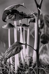 Sheltering Arms (Scott Sanford Photography) Tags: 6d canon dof depthoffield ef100400mmf4556lii eos easttexas naturallight nature outdoor sunlight topazlabs bokeh fungus mushroom blackandwhite bw monochrome