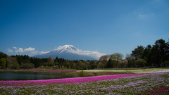 Fuji Shibazakura (elenaleong) Tags: yamanashiprefecture mtfuji fujisan fujishibazakura pinkmoss pinkphlox elenaleong spring japanlandscape pinkfield 富士芝桜まつり