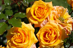 Maig_0110 (Joanbrebo) Tags: barcelona catalunya españa es 17èconcursinternacionalderosesnovesdebarcelona park parque parc parccervantes garden jardí jardín flors flores flowers fleur fiori blumen blossom rosa rose canoneos80d eosd efs18135mmf3556is autofocus