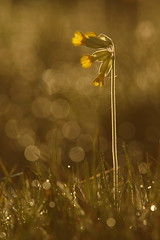 Cowslip (Derbyshire Harrier) Tags: whitepeak limestone morning derbyshire dew 2018 cowslips primulaveris peakdistrict peakpark may mayday backlighting backlit yellow grassland spring bokeh