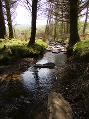 0160 Shady brook'let (Andy - Busy Bob) Tags: banks brooklet conifer firtree stones trees water