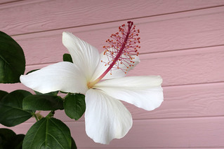native white hibiscus