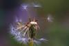 Gone with the wind (photalena) Tags: pusteblume dandelion trioplan2950 meyergörlitz