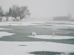 swans (k a s i a .) Tags: swan swands winter poland bird birds nature ice frozen snow tree trees fog