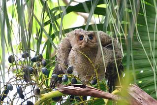 Collared Scops Owl 領角鴞