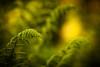 In the Jungle the mighty Jungle (ursulamller900) Tags: matteucciastruthiopteris deutscherstrausfarn pentacon26100 fern farn bokeh mygarden green
