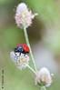 Spring time (Fernando Guirado) Tags: 2018 lleida macro coleoptera red spring green nex6 nex sony 90mmfe 90mm 90mmmacrofe sonyfe90mm macrofotografia macrophoto macrophotography macrofoto closeup beetle