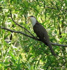 Yellow-billed Cuckoo_N3456 (Henryr10) Tags: coccyzusamericanus coccyzus yellowbilledcuckoo cuckoo avian bird vogel ibon oiseau pasare fågel uccello tékklistar ybcu