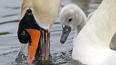 Happy Mother's Day (photosauraus rex) Tags: swan bird swanandyoungster mothersday swanling vancouver bc canada