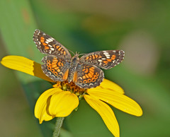 Phaon crescent (justkim1106) Tags: butterfly lepidoptera wingedinsect insect wings nature bokeh animal naturebokeh beyondbokeh patterns naturepatterns wildflower phaoncrescent checkerspotbutterfly