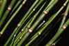 Scouring rush (Equisetum (Hippochaete) hyemale) close up (shadowshador) Tags: scouring rush equisetum hippochaete hyemale neomura eukaryota archaeplastida plantae plant plants pteridophyta equisetopsida equisetales equisetaceae taxonomy scientific classification biology botany wildlife life green