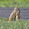 Mommy, I Don't Like Grass... (dcstep) Tags: a7r0145dxo prairiedog pup mother female nursing cherrycreekstatepark colorado greenwoodvillage sonya7riii fe100400mmf4556gmoss fe20xteleconverter allrightsreserved copyright2018davidcstephens dxophotolab nature urban urbannature handheld