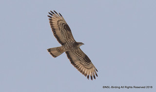 Honey Buzzard, Lindos Greece