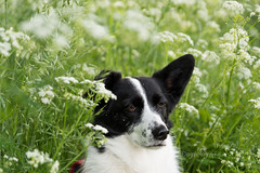 White flowers (MelissaW Dog Photography) Tags: penny corgi mix ruffwear webmaster dog cute sweet soft friend sunny spring flowers sun flower twiske nature nikon d5200 tamron 1750 28 nonvc happy pet red green animal grass field white