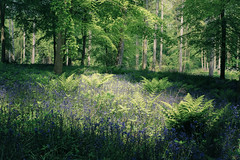 Blue and Green (gerainte1) Tags: bluebells woodland woods trees flowers spring blue green colour yorkshire