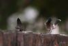 uk 2G6A0585 (uday khatri photography) Tags: udaykhatriphotography fine udaykhatri art amazing abstract ahmedabad animal wildlife bird beautiful birds bulbul myna mynah bath summer two india pink nest