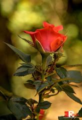 fading like a flower (Michele Rallo | MR PhotoArt) Tags: michelerallomichelerallomrphotoartemmerrephotoartphotopho flower flowers natura nature closeup macro macroph fiore fiori rosa rose