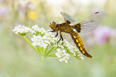 Libellula depressa (Marcin Błoch) Tags: afsdxmicronikkor85mmf35gedvr nikond7200 insect flower dragonfly butterfly colors spider naturallight green yelow meadow forest river light