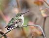 Female Ruby-throated Hummingbird (NorthShoreTina) Tags: hummingbird rubythroatedhummingbird