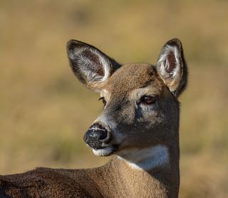 White-tailed Deer, Chevreuil, Venado de Cola Blanca, Odocoileus Virginianus