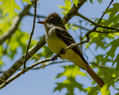 Great Crested Flycatcher (johnny4eyes1) Tags: bokeh woodlandcreatures greatcrested nature birds passerine flycatchers perchingbirds woodland wildlife greatcrestedflycatcher woods forest bird wertheimnationalwildliferefuge outdoors park perchingbird flycatcher perching parks