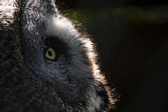 Great Grey Owl (R.J.Boyd) Tags: great grey owl bird off prey gauntlet avian feathers hunter profile portrait knutsfod