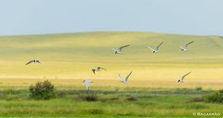 Gaivina-de-bico-preto | Gull-billed Tern | Pagaza piconegra | Sterne hansel (Gelochelidon nilotica)
