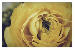 sometimes you have to create your own sunshine (undefinable moods) Tags: ranunculus yellow flower soft macro nature
