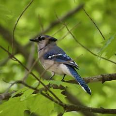 Blue Jay (Cyanocitta cristata) (mcwetboy) Tags: bird jay bluejay cyanocitta taxonomy:binomial=cyanocittacristata
