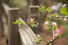 Spring in the Sierras (erniewelch1323) Tags: ifttt 500px blossom bloom blooming split rail fence kings canyon national park springtime california hikig adventure beauty nature pink