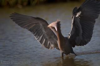 Reddish Egret Hunter