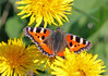Small Tortoiseshell Wings! (RiverCrouchWalker) Tags: dandelion butterfly smalltortoiseshell insect invertebrate flowers spring april 2018 wingwednesday happywingwednesday aglaisurticae taraxacum shoeburyness essex coast