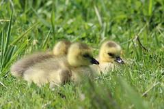 IMG_7568 Nisqually Goslings (Jon. D. Anderson) Tags: nisquallynationalwildliferefuge goose gosling canadagoose brantacanadensis birds birdsofwashington washingtonbirds babygeese