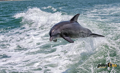 Dophin Playing in the Wake from the Tour Boat in Clearwater Beach, FL (Peter Ciro Photography) Tags: beach clearwater dolphins florida water sand sunshine tour camera:model=canoneos5dmarkiv exif:model=canoneos5dmarkiv camera:make=canon exif:isospeed=100 geostate exif:focallength=70mm geocountry geocity geo:lon=82839063333333 geolocation geo:lat=27967883333333 exif:lens=ef70300mmf456isusm exif:aperture=ƒ80 exif:make=canon
