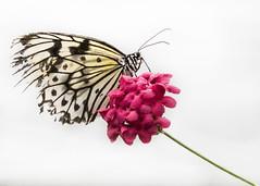 Red & White (MomoFotografi) Tags: zuiko butterlfy papillon macro flower papillonsenliberté zuikodigital mzuiko fleur rouge rose red beautiful nature closeup close macrography butterfly bug insect olympus 200mm