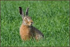 Lièvre d'Europe ( Lepus europaeus ) Focus Distance : 29.85 m (Norbert Lefevre) Tags: cultures champs gibier lièvre animal sauvage nikon d500 200500mmf56