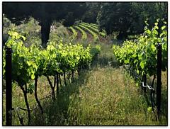 Vinyes del Bruguer, Santa Eulàlia de Ronçana (el Vallès Oriental) (Jesús Cano Sánchez) Tags: elsenyordelsbertins fujifilm xq1 catal unya cataluña catalonia barcelonaprovincia valles vallesoriental lavalldeltenes santaeulaliaderonçana bruguervell viny es viñedos vineyard senderisme senderismo hiking