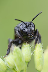 _5022644_10MP (masterpsx) Tags: olympus omd em1markii panasonic leicadg100400powerois raynox dcr150 macro insectes abeille