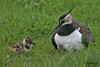LAPWING //  VANELLUS  VANELLUS  (29cm) (tom webzell) Tags: naturethroughthelens
