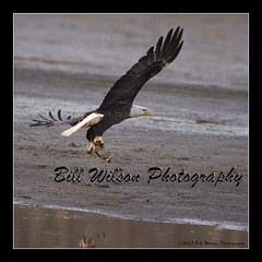 Got luck? (wildlifephotonj) Tags: wildlifephotographynj naturephotographynj baldeagle baldeagles eagle eagles raptor raptors wildlifephotography wildlife nature naturephotography wildlifephotos naturephotos natureprints birds bird