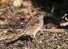 White-throated Sparrow (ksblack99) Tags: waterloostaterecreationarea grasslake michigan whitethroatedsparrow bird zonotrichiaalbicollis